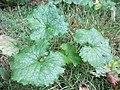 20170920Alliaria petiolata1.jpg