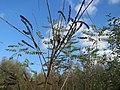 20171031Amorpha fruticosa3.jpg