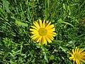 2018-05-13 (166) Buphthalmum salicifolium (ox-eye) at Bichlhäusl in Frankenfels, Austria.jpg
