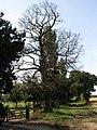 2018-08-15 Dead tree, Oak tree farm, Gimingham.JPG