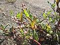 20180919Persicaria lapathifolia3.jpg