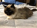 2019-11-04 09 52 41 A Ragdoll cat lying on a bed in the Franklin Farm section of Oak Hill, Fairfax County, Virginia.jpg