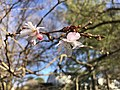 2020-02-09 15 33 39 Autumn Cherry blossoms along Lees Corner Road in the Franklin Farm section of Oak Hill, Fairfax County, Virginia.jpg
