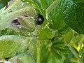 2Harmonia axyridis.jpg