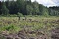 5 dzērves, Ķeipenes pagasts, Ogres novads, Latvia - panoramio.jpg