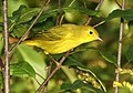 829 - YELLOW WARBLER (9-27-2018) pepperell, middlesex co, ma -08 (45027232912).jpg