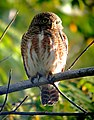 ASIAN BARRED OWLET Glaucidium cuculoides (7005230583).jpg