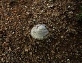 A Limpet in the Raised Beach at Hope's Nose.jpg