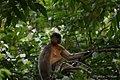 A Pregnant Capped Langur - Flickr - Dr. Santulan Mahanta (3).jpg