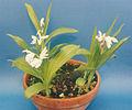 A and B Larsen orchids - Bletilla striata alba 139-13z.jpg