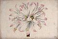 A belladonna lily flower (Amaryllis belladonna var. pallida) Wellcome V0044473.jpg