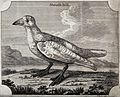 A bird of the crow family; a sheath bill. Etching by P. Maze Wellcome V0022334.jpg