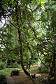 A climbing creeper and path Gibberd Garden Essex England.JPG