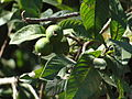 A closeup of guava plant.JPG