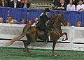 A five Gaited Horse at the 2009 Worlds Championship Horse Show (3930800858).jpg