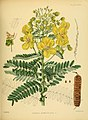 A hand-book to the flora of Ceylon (Plate XXXIII) (6430643637).jpg
