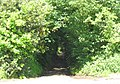A tunnel of trees - geograph.org.uk - 173867.jpg