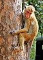 A young Toque Macaque climbing up a tree.jpg