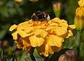 Abeja (Bombus terrestris) en un clavel de Indias (Tagetes patula), jardín botánico de Tallin, Estonia, 2012-08-12, DD 02.JPG