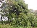 Abunda el laurel de río, Timbocito - panoramio.jpg
