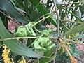 Acacia - അക്കേഷ്യ 03.JPG