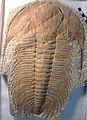 Acadoparadoxides briareus fossil trilobite (Middle Cambrian; Sidi Abdallah ben el Hadj, Morocco) 2 (15083893830).jpg