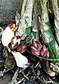 Acanthophippium bicolor-3-sanyasimalai-yercaud-salem-India - cropped.jpg