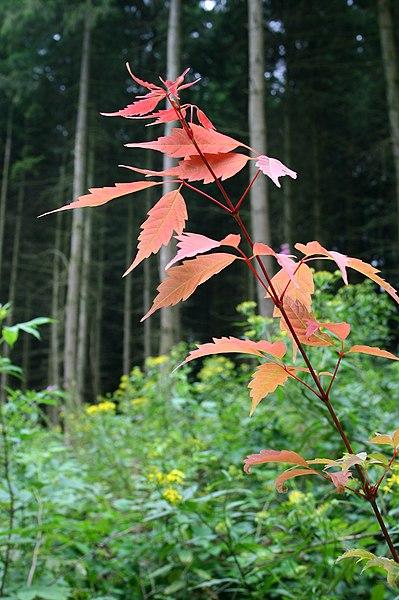 arbres acer cissifolium feuilles de l'arbre