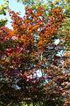Acer palmatum 'Nuresagi' JPG1b.jpg
