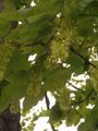 Acer pseudoplatanus Inflorescence BavariaMay2005.jpg