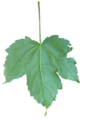 Acer pseudoplatanus leaf.png