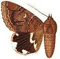 Achaea oedipodina.JPG