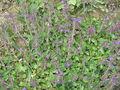 Acinos alpinus01.jpg