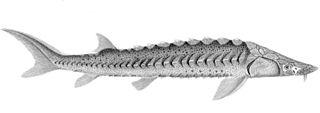 Green sturgeon Species of fish