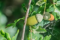 Acorn of Quercus robur 01.jpg