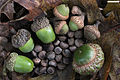 Acorns small to large.jpg
