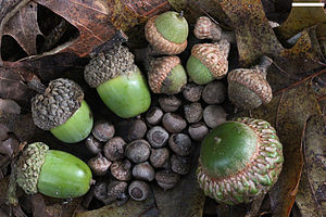 Acorn - Acorns from small to large of the Willow Oak, Quercus phellos (very small, at center); the Southern Red Oak, Quercus falcata; the White Oak, Quercus alba; and the Scarlet Oak, Quercus coccinea; from southern Greenville County, SC, USA. Scale bar at upper right is 1 cm.