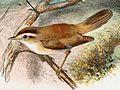 Acrocephalus bistrigiceps 1889.jpg