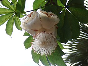 Adansonia digitata 0012.jpg
