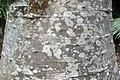 Adansonia digitata 27zz.jpg