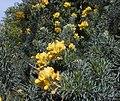 Adenocarpus decorticans.jpg