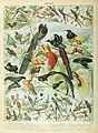 Adolphe Millot oiseaux B.jpg