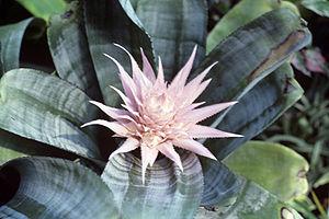 Lanzenrosette (Aechmea fasciata), eine Trichterbromelie mit ihrem dekorativen Blütenstand