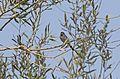 Aegithalos caudatus - Long-tailed Tit, Adana 2016-10-29 01-4.jpg