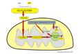Aerobic mitochondria process.png