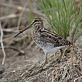 African Snipe, Gallinago nigripennis at Marievale Nature Reserve, Gauteng,South Africa (45417467614).jpg