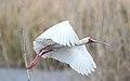 African Spoonbill, Platalea alba at Marievale Nature Reserve, Gauteng, South Africa (21608358831).jpg