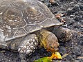 African Spurred Tortoise (Geochelone sulcata) captive specimen eating papaya ... (21374960398).jpg
