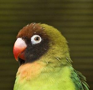 Black-cheeked lovebird - Upper body