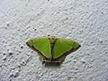 Agathia sp. (1377106608).jpg
